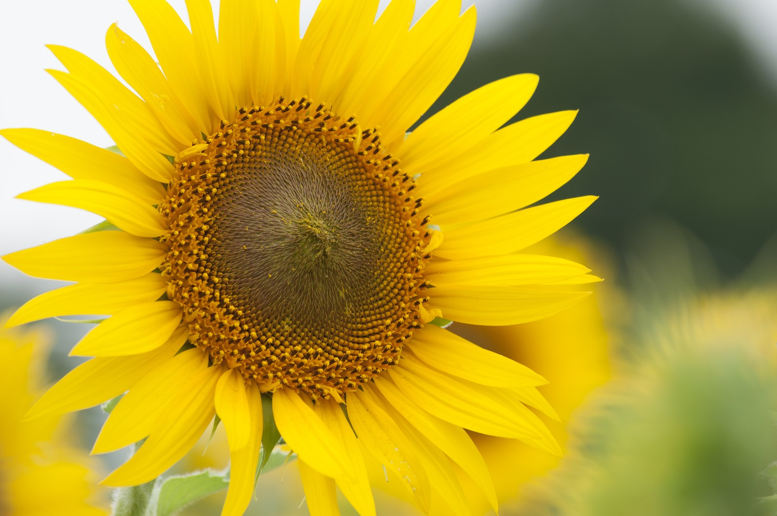 ヒマワリが太陽の方を向く原因は葉っぱ?花びら?茎?|お天気検定8月8日