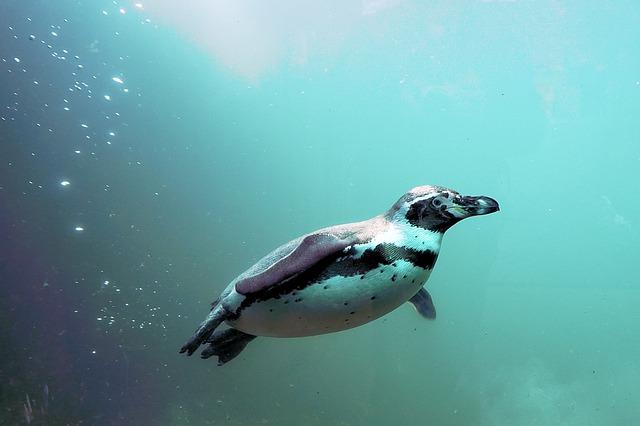エンタメ検定8月12日|オウサマペンギンのひな、規格外な特徴は?