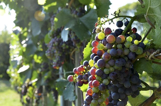 ヨーロッパでブドウの別名は畑のミルク/レバー/キャビア?|お天気検定9月8日
