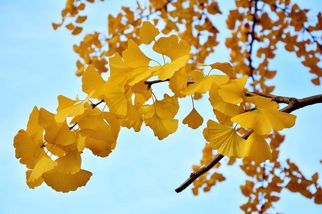 明治神宮外苑にイチョウがあるのは東京都の木?非常食?|お天気検定11月23日