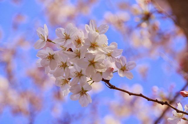 同じ種類の芝桜で違う色が咲くのは跳ね返り?とんぼ返り?|お天気検定4月24日
