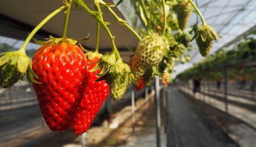 イチゴの果実は中の白い部分?赤い部分?表面のツブツブ?|お天気検定1月16日