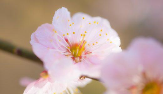 梅と桜の開花日の間隔が一番短いのは函館?東京?宮崎?|お天気検定3月8日