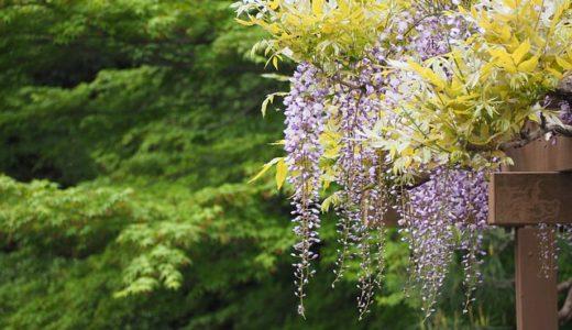藤の花の異名は二季草?二尺草?二芽草?|お天気検定5月10日