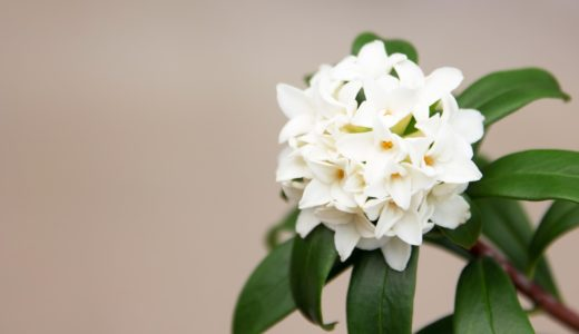 【春よ、来い】冒頭の花は木蓮?沈丁花?菜の花?|お天気検定4月2日