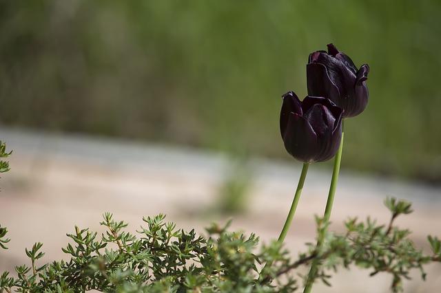 黒いチューリップ