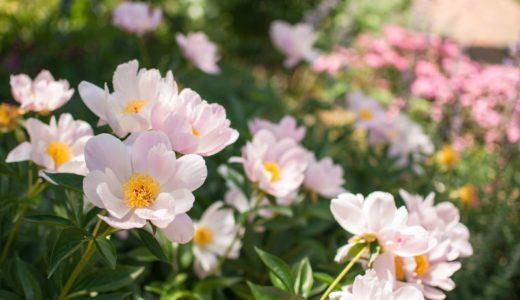 シャクヤクの花言葉はじらい、理由は日陰を好む?下を向く?|お天気検定5月11日