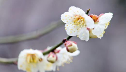 東京の梅の標本木は湯島天神/北の丸公園/靖国神社?|お天気検定2月26日