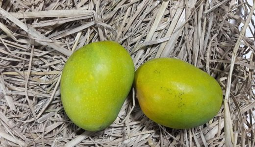 完熟マンゴーの収穫タイミングは甘い香り?赤く色づく?|お天気検定5月30日