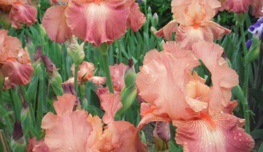 ジャーマンアイリスの別名は虹の花?太陽の花?風の花?|お天気検定5月9日