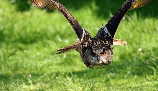 梟の羽のギザギザ、目的は小回り?速く飛ぶ?音を消す?|お天気検定5月25日