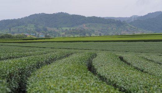 茶畑にある扇風機の目的は霜を防ぐ?暑さをしのぐ?|お天気検定5月16日