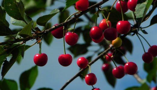 さくらんぼの別名が桜桃の理由は味?果物総称だった?|ことば検定6月19日