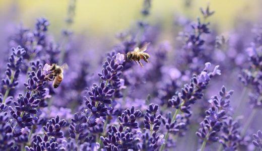 ミツバチがお尻を振ると雨の到来?敵の襲来?花畑?|お天気検定9月14日