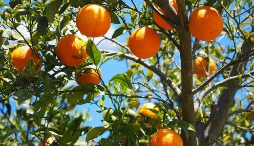 橙(だいだい)の名前の由来は大きくなる?実が落ちない?|ことば検定1月4日