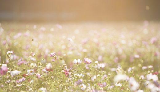 コスモスの葉が細い理由は何から身を守る?雨・乾燥・寒さ?|お天気検定9月25日