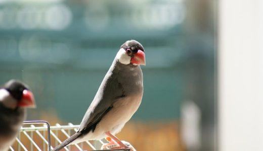 文鳥の名前の由来は文章を話す/体の模様が美しい?|ことば検定10月24日
