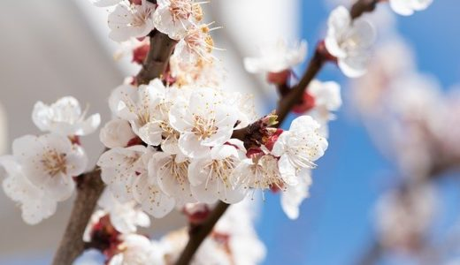 河津桜の原木の苗が見つかったのは武家屋敷/農園/雑草の中?|お天気検定2月19日