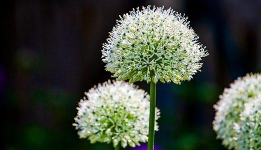 ネギの花はどれ(フリップの写真)?|お天気検定12月8日